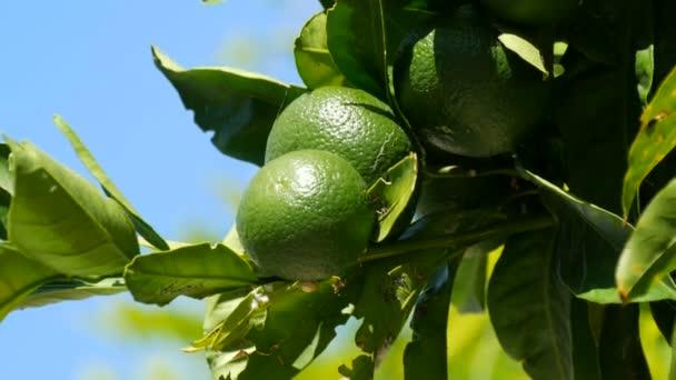 Früchte der jungen grünen Wilden Linde auf einem Baum im Sommer vor blauem Himmel