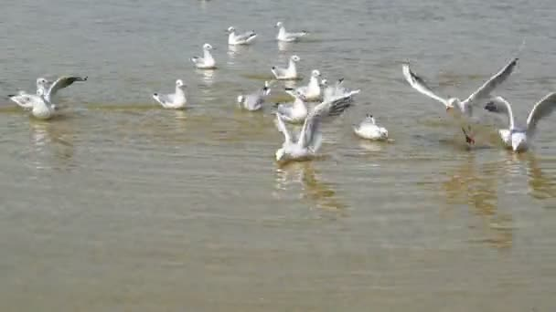 A flock of ivory gulls greedily eating pieces of bread on the shore of a salt lake