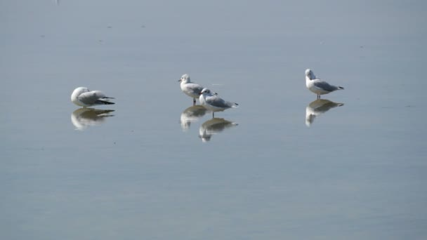 A flock of ivory gulls greedily on the shore of a salt lake