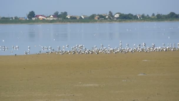 A flock of ivory gulls sitting on the shore of a salt lake