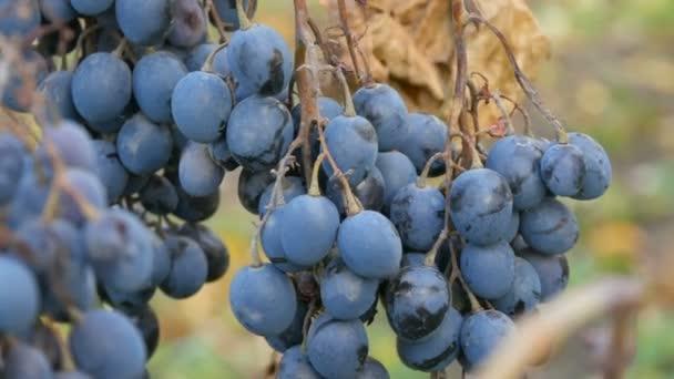 Egy halom érett kék szőlő ősszel, őszi szüret a farmon. Száraz ágak és levelek szőlő közeli kilátás