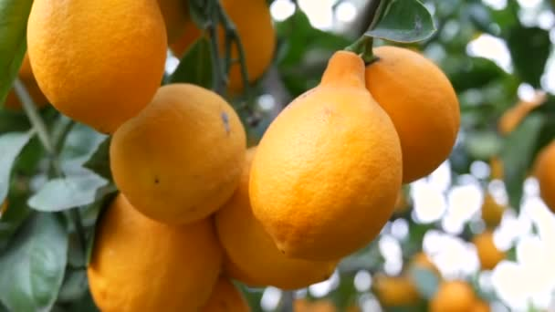 Zitrusfrüchte ernten viele reife gelbe Zitronen, die im Zitronengewächshaus an Zweigen hängen