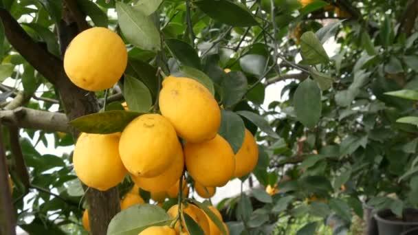 Zitrusfrüchte ernten viele reife gelbe Zitronen, die an Zweigen im Gewächshaus hängen. Zitronengarten. Nahsicht