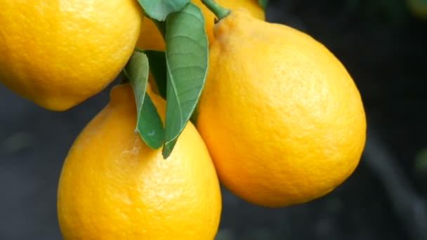Ernte reife saftige Zitronen an einem Baum in einem Zitronengewächshaus. Reifes Obst im Garten aus nächster Nähe