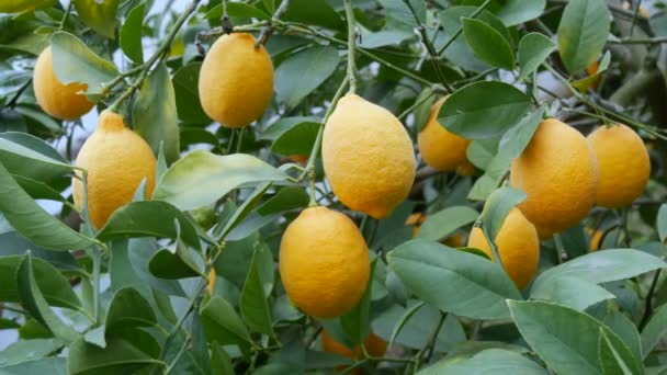 Eine große Menge an reifen Zitronen auf einem Zitronenbaum. Ernte reife saftige Zitronen an einem Baum in einem Zitronengewächshaus. Reifes Obst im Garten