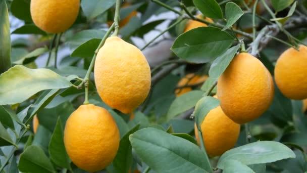 Viele reife Zitronen. Ernte reife saftige Zitronen an einem Baum in einem Zitronengewächshaus. Reifes Obst im Garten