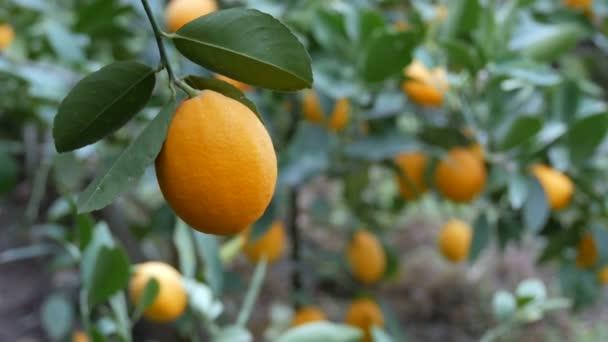 Ernte reife saftige Zitronen an einem Baum in einem Zitronengewächshaus. Reifes Obst im Garten
