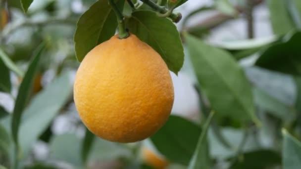 Close up view of ripe lemon on a branch lemon tree. Harvest ripe juicy lemons on a tree in a lemonaria greenhouse. Ripening fruit in the garden