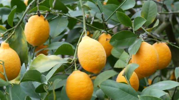 A big quantity of ripe lemons on a lemon tree. Harvest ripe juicy lemons on a tree in a lemonaria greenhouse. Ripening fruit in the garden