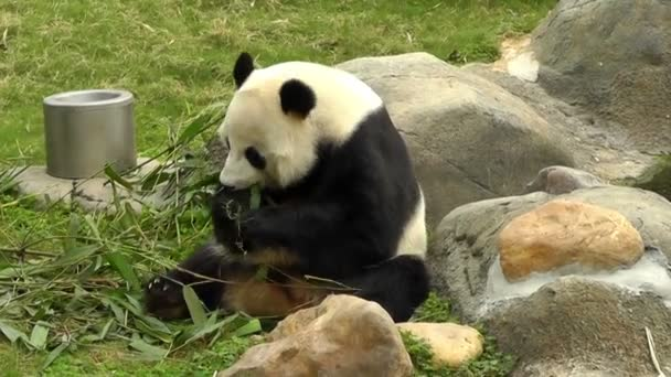 Giant panda is eating bamboo at the Zoo