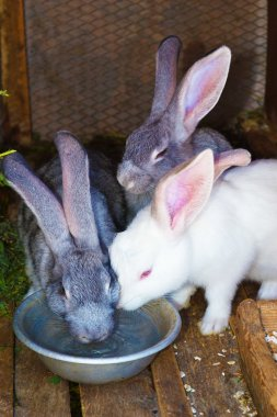 3 rabbits drink water from  bowls