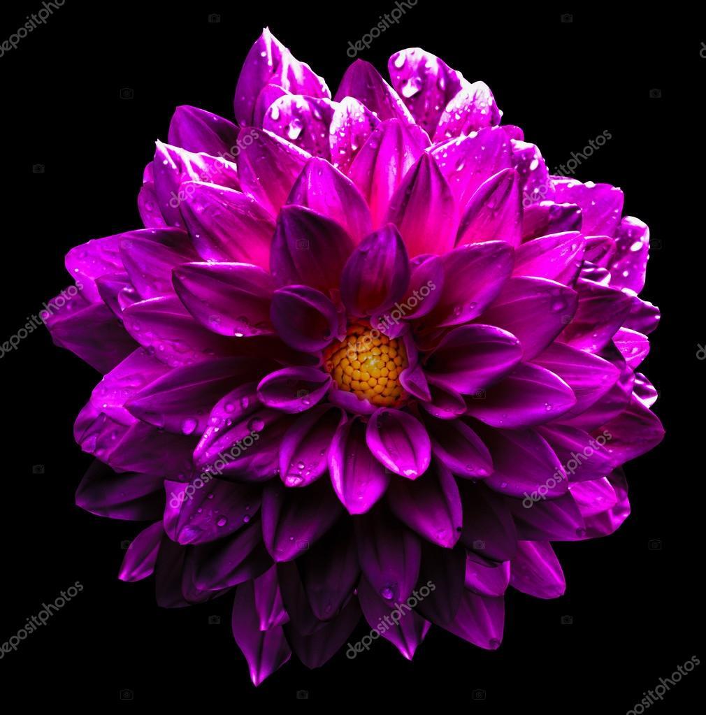 surréaliste chrome foncé humide rose fleur dahlia macro isolée sur