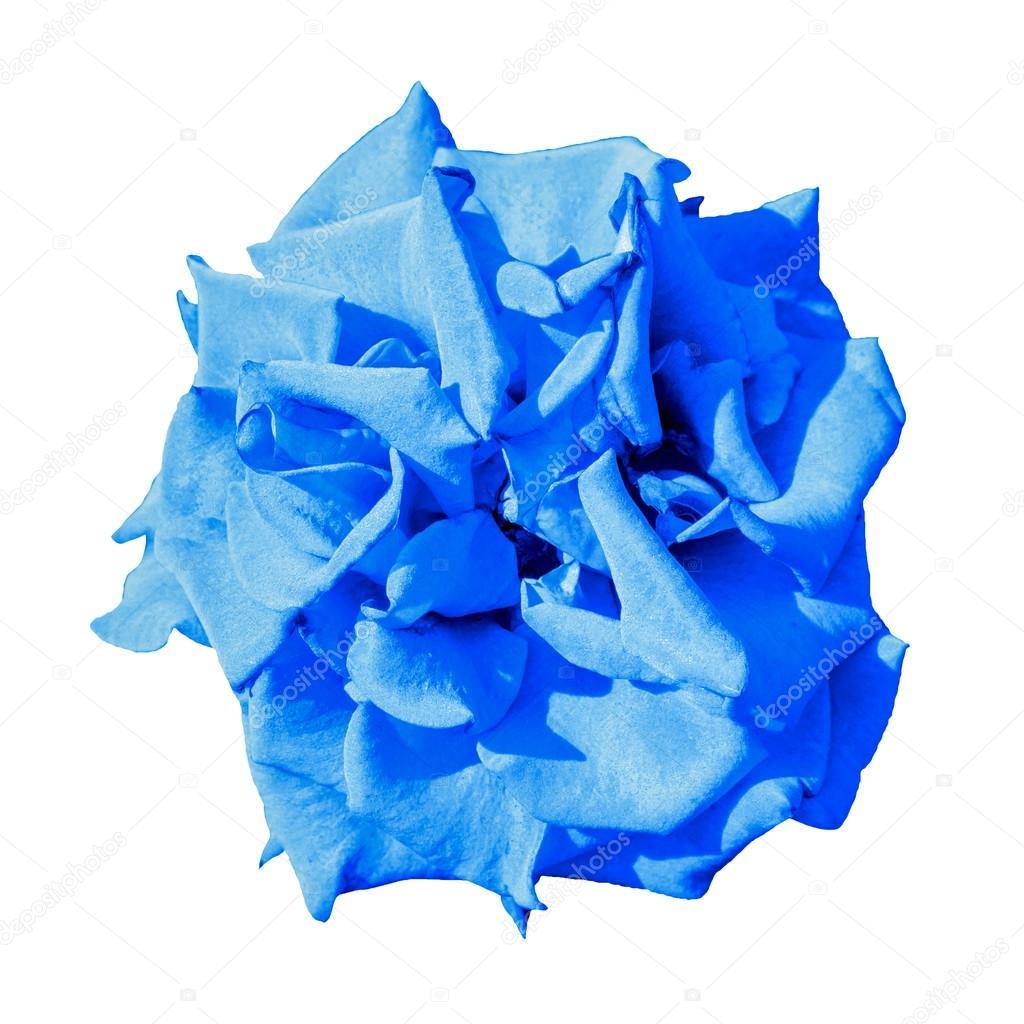 Surreal Dark Exotic Blue Marigold Flower Macro Isolated On White