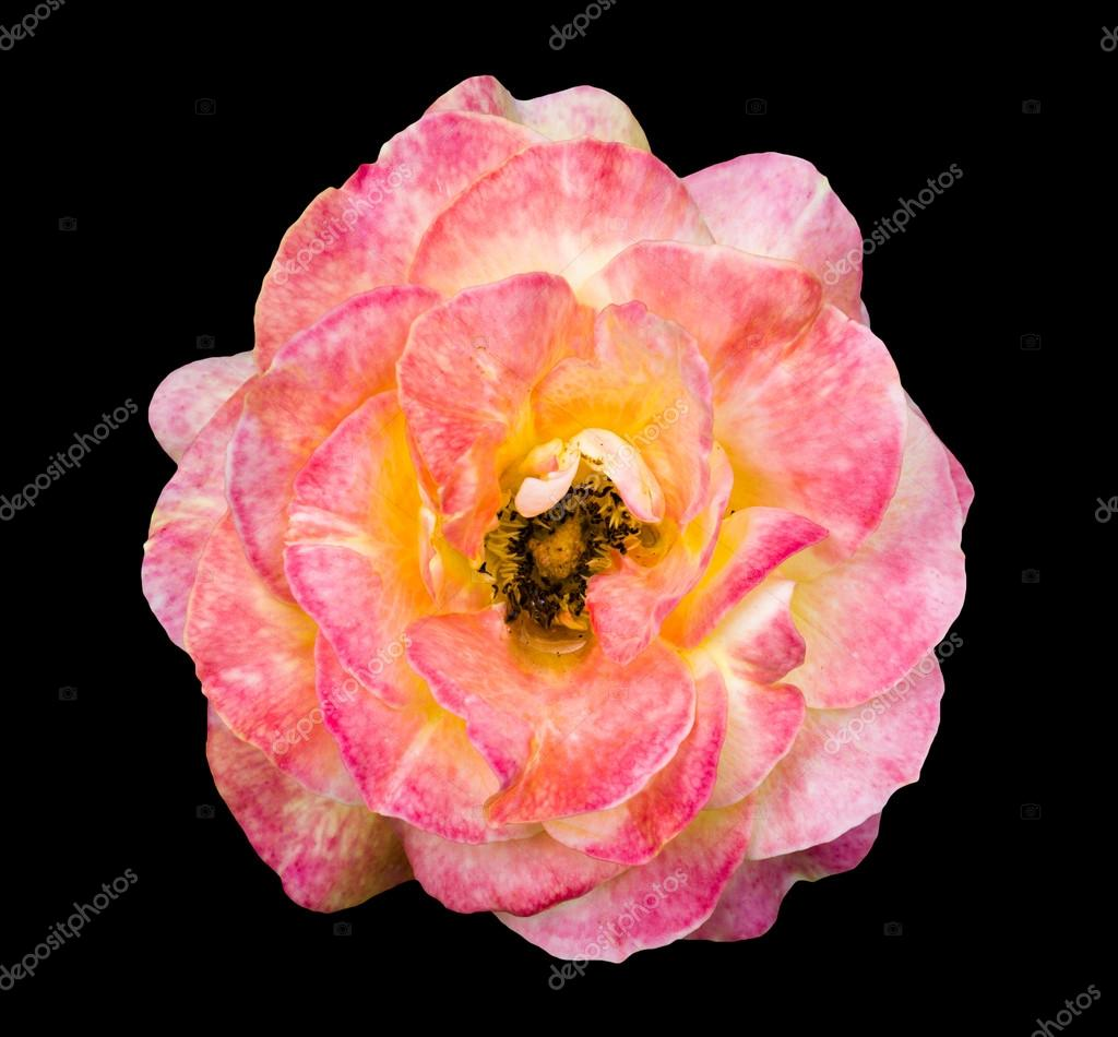 Naturelle Tendre Blanche Et Rose Rose Fleur Exotique Isolee Sur Fond