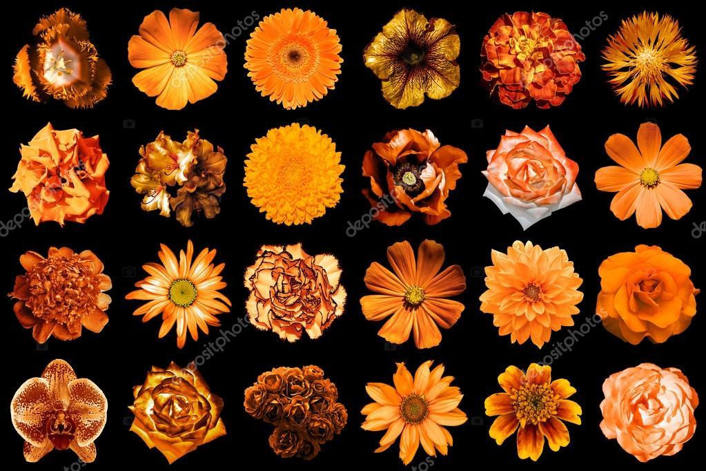 collage d'orange naturel et surréaliste fleurs 24 en 1 : pivoine