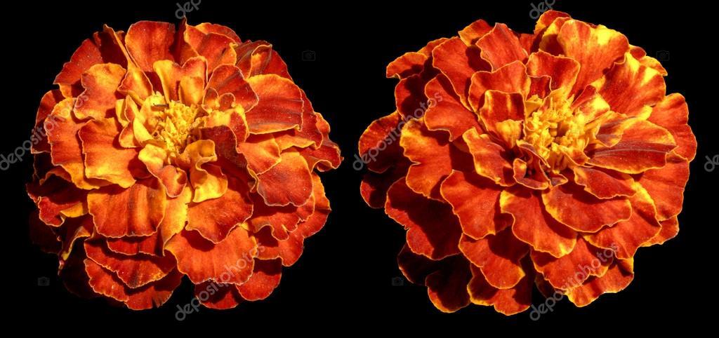 aster vivace fleur exotique jaune orange isol e sur fond noir photographie boxerx 78410086. Black Bedroom Furniture Sets. Home Design Ideas