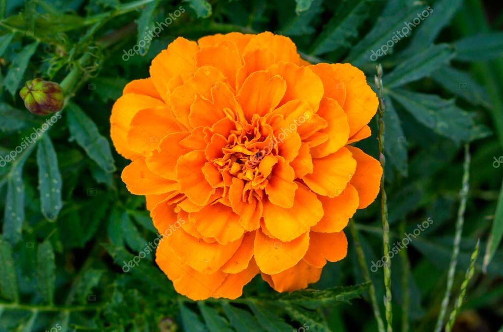 Aster Vivace Fleur D Oranger Dans Le Jardin Photographie Boxerx