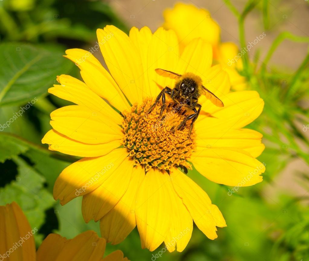 Abeille recueille le pollen d\'asters vivaces fleurs jaunes dans le ...