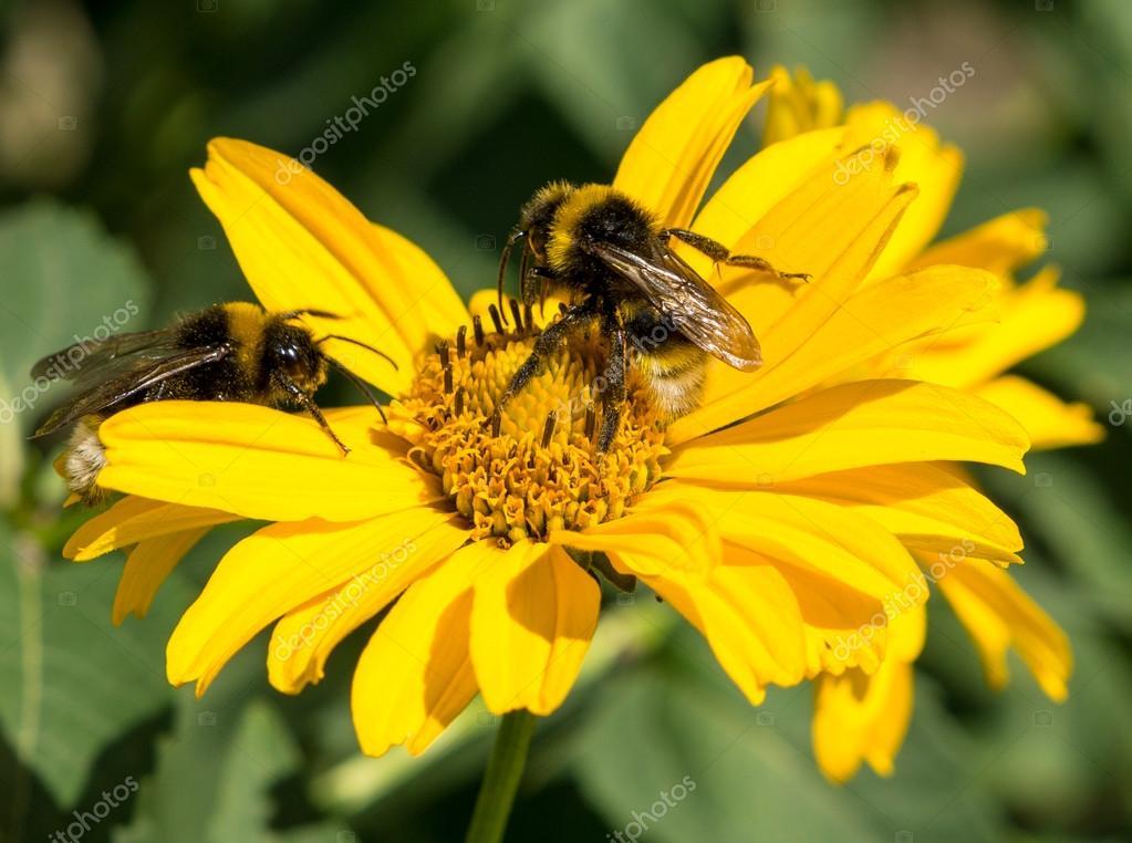 Deux abeilles recueille le pollen d\'aster vivace fleurs jaunes dans ...