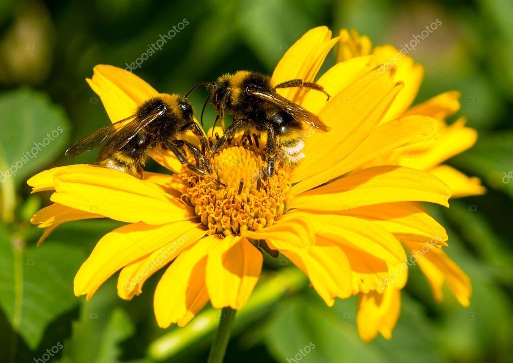 abeilles recueille le pollen d\'aster vivace fleurs jaunes dans le ...