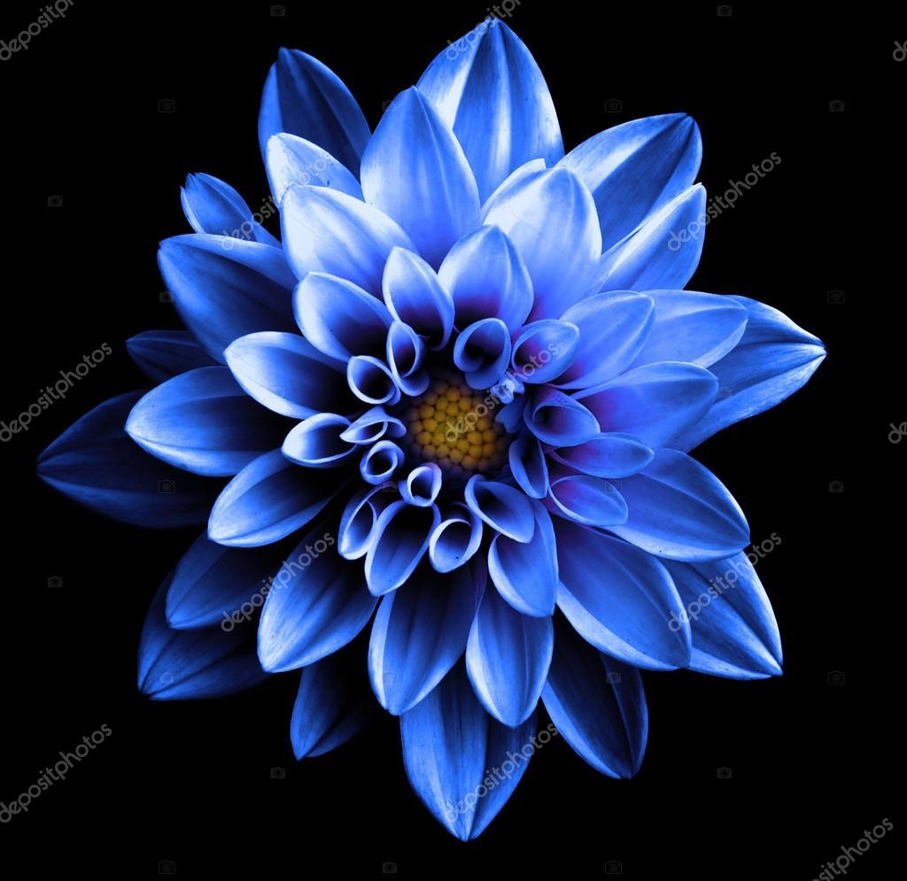 Surreal dark chrome blue flower dahlia macro isolated on black surreal dark chrome blue flower dahlia macro isolated on black stock photo izmirmasajfo