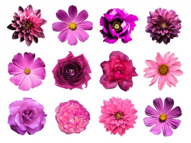 Mix collage of natural and surreal pink flowers 12 in 1: dahlias, primulas, perennial aster, daisy flower, roses, peony isolated on white