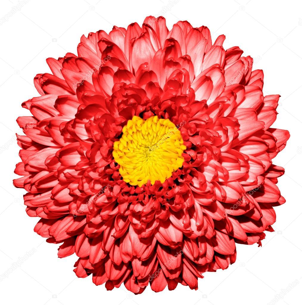 Fleur De Surrealiste Chrysantheme Rouge Fonce Or Daisy Avec Macro
