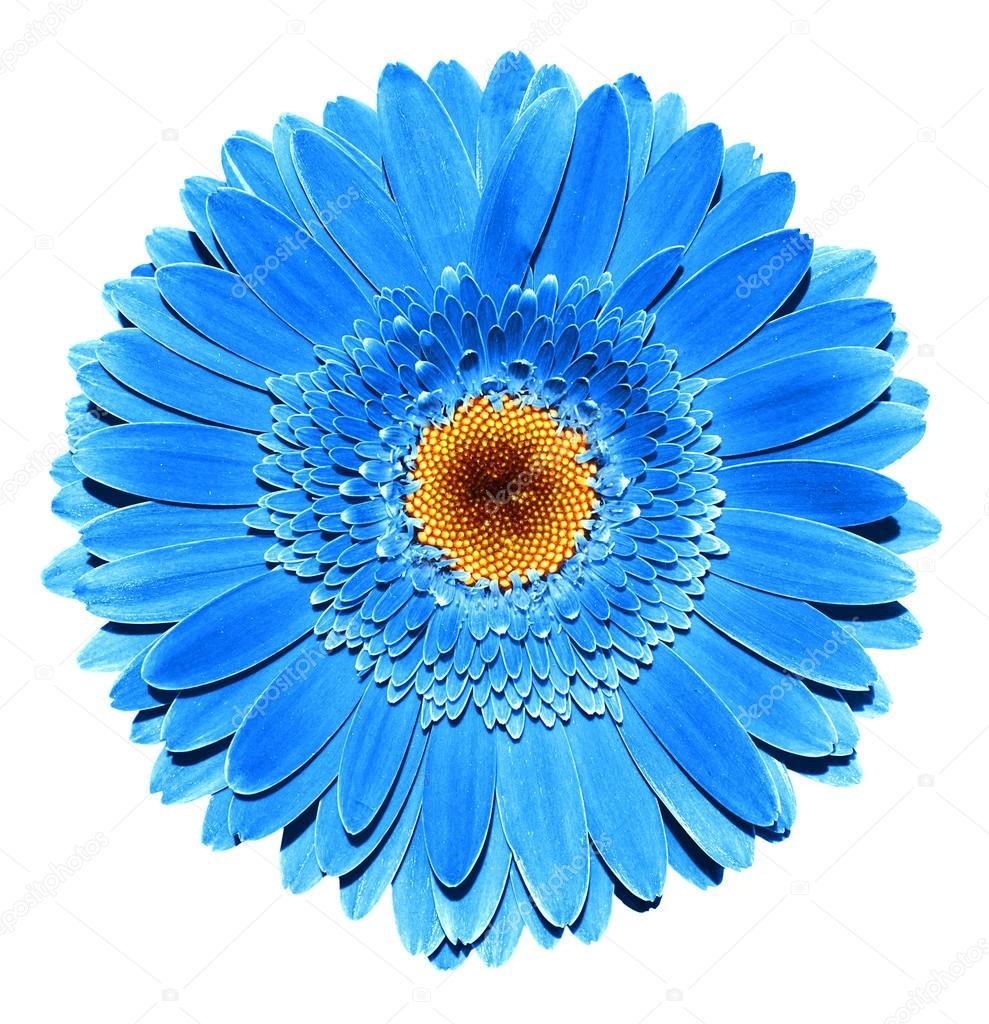 Macro De Fleur De Gerbera Bleu Chrome Fonce Surrealiste Isole Sur