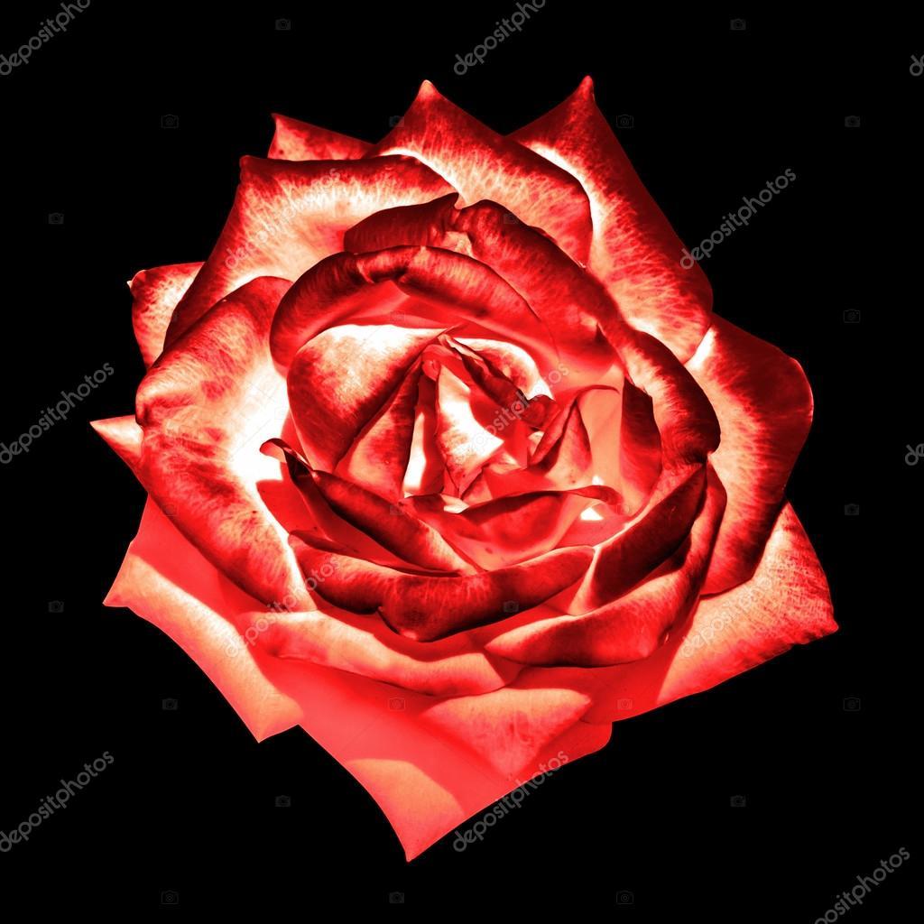 de fleur rose crème ender rouge chrome foncé surréaliste isolée