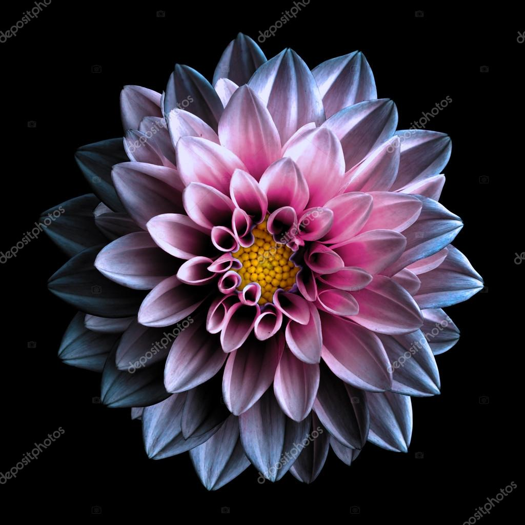 Surreal Dark Chrome Pink And Purple Flower Dahlia Macro Isolated On