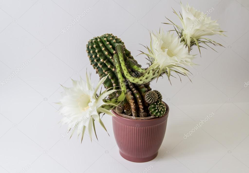 Die Kaktusblüte isoliert auf weiss — Stockfoto © eddgars #79695982