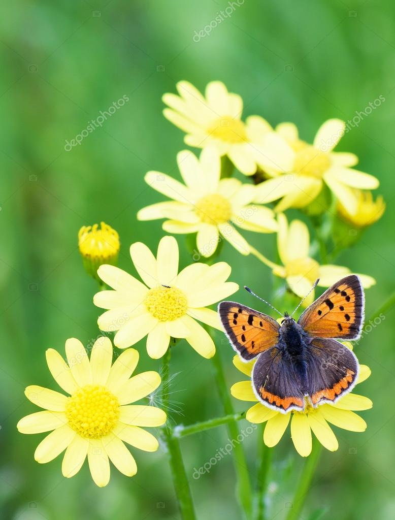 Photo Of Brown Butterfly On Yellow Flowers In Spring Over Green