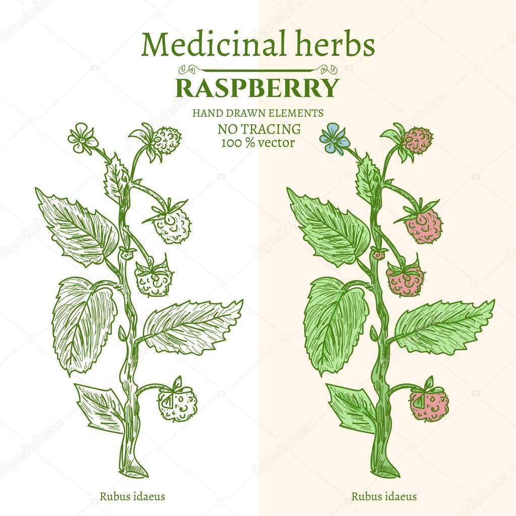Plantas medicinales y hierbas frambuesa mano dibujada for Hierbas y plantas medicinales
