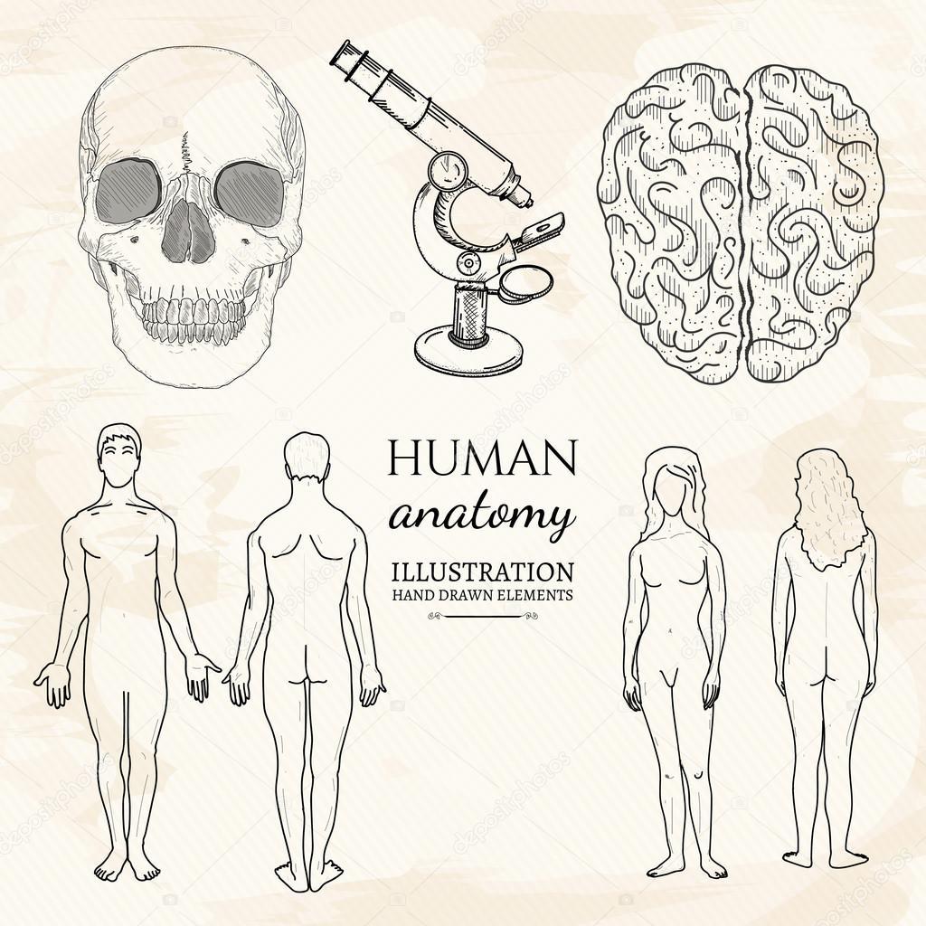 Anatomie Gehirn menschlicher Schädel weibliche Anatomie ...