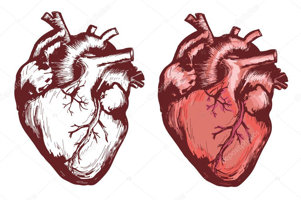 Corazón humano, dibujado a mano corazón anatómico — Vector de stock ...