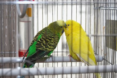 Two Parakeets Kissing in Cage