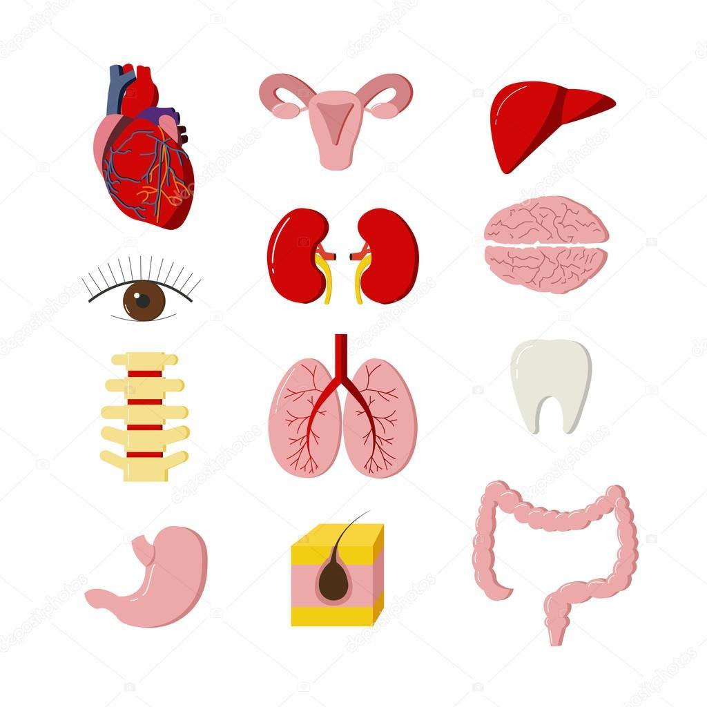 Conjunto de vector de órganos del cuerpo humano. Elementos de diseño ...