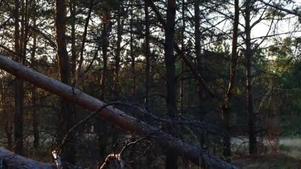 Padlé borovice v lese po silném větru večer při západu slunce.