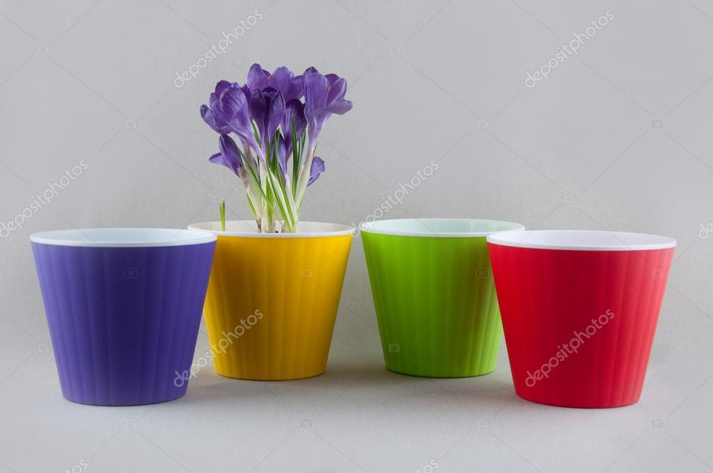 Croco viola in vaso di fiori giallo e vasi di plastica colorati ...