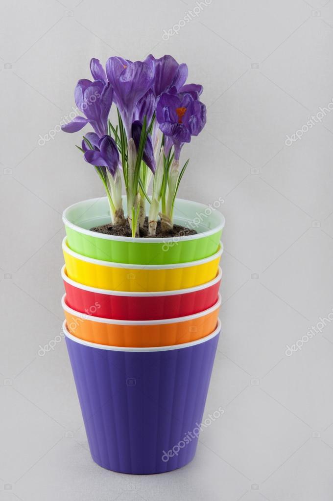 Stos Kolorowe Doniczki I Fioletowy Krokus Wewnątrz Zdjęcie