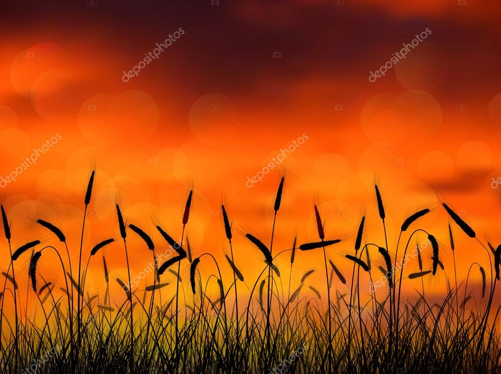Silhouette of wheat when of sunset