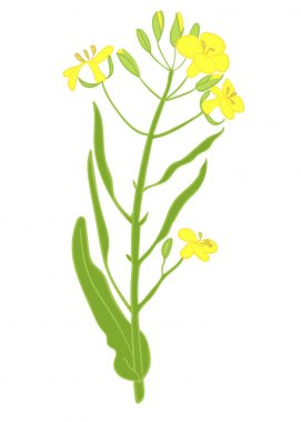 vector illustration of a rapeseed flowers