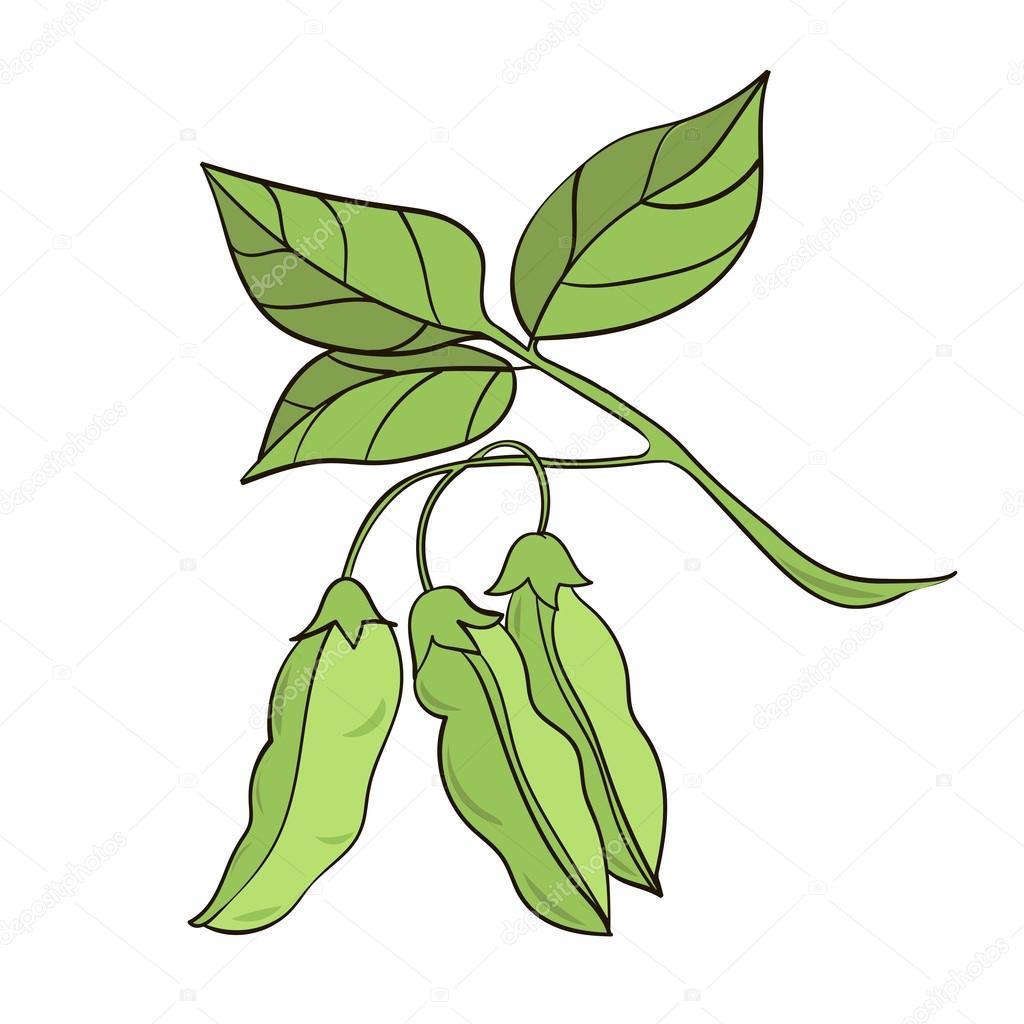 벡터 일러스트 레이 션 콩 식물의 흰색 배경에 고립 — 스톡 벡터 © NadinkaMinina #92427248