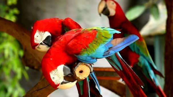 Close up macaw bird in chiangmai  Thailand