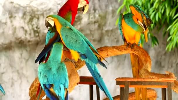 Közelkép arapagáj madár Chiangmai Thaiföld