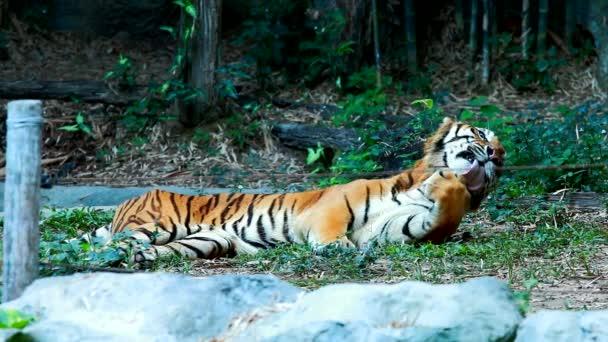 velký tygr v Chiangmai Thajsku