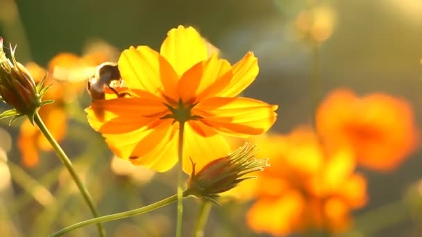 Beautiful cosmos  flowers and bee in the garden, outdoor  Chiangmai Thailand