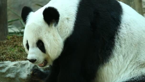 Panda eating bamboo in chiangmai Thailand