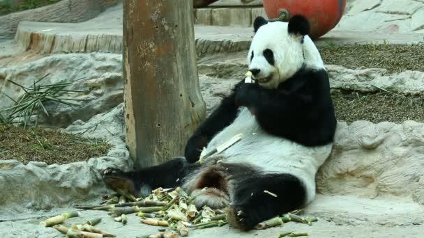 Panda eszik bambusz Chiangmai Thaiföld