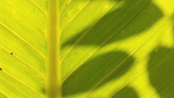 Leaves  shadow on the leaf , Chiangmai  Thailand